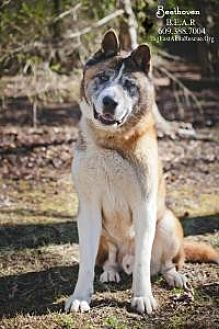 Akita Dog for adoption in Toms River, New Jersey - Beethoven