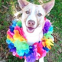 Adopt A Pet :: Lola - Vernon, TX