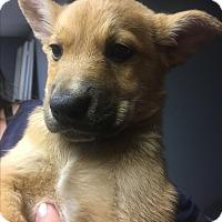 Adopt A Pet :: Aussie 2 baby boys - Pompton Lakes, NJ