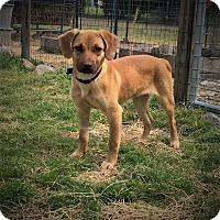 Adopt A Pet :: Dottie - Youngsville, NC