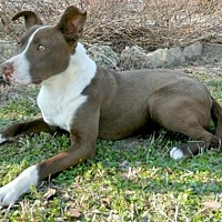 American Pit Bull Terrier Mix Puppy for adoption in Tyler, Texas - Bogie