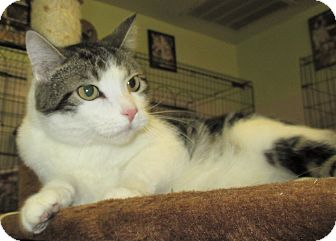 American Shorthair Cat for adoption in Reeds Spring, Missouri - Jefferson