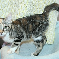 Domestic Shorthair Kitten for adoption in Santa Rosa, California - Rita