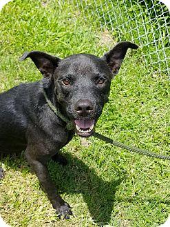 Labrador Retriever/Mixed Breed (Medium) Mix Dog for adoption in Jacksonville, Florida - Bonnie