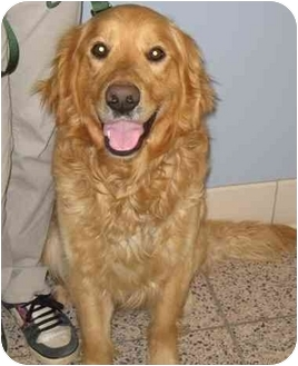 Golden Retriever Dog for adoption in Cleveland, Ohio - Dylan