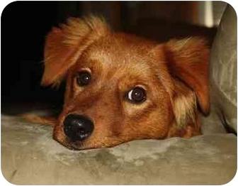 Golden Retriever Mix Dog for adoption in Portland, Maine - Samson