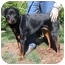 Photo 4 - Rottweiler Dog for adoption in Tracy, California - Fritz