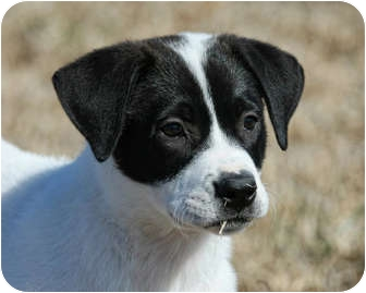 Pointer/Pointer Mix Puppy for adoption in Westport, Connecticut - *Shelby - PENDING