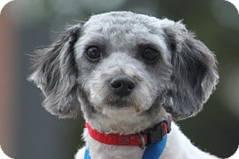 Poodle (Miniature) Mix Dog for adoption in McKinney, Texas - Sweetie Girl