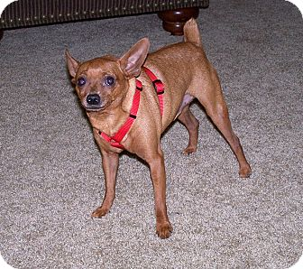 Chihuahua/Miniature Pinscher Mix Dog for adoption in Concord, North Carolina - Hershey