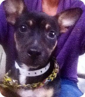 Rat Terrier/Rat Terrier Mix Dog for adoption in Jacksonville, Florida - Morgan