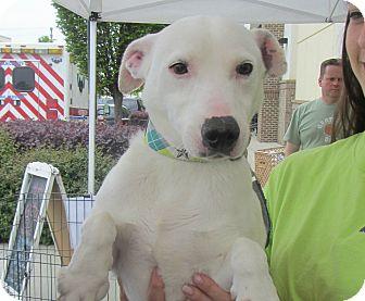 Jack Russell Terrier/Jack Russell Terrier Mix Dog for adoption in Lincolnton, North Carolina - Junior