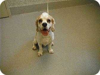 Cocker Spaniel Dog for adoption in Ottawa, Ontario - Sherlock