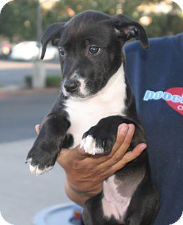 German Shepherd Dog/Labrador Retriever Mix Puppy for adoption in Santa Ana, California - Athena