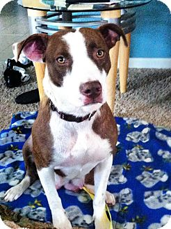 Labrador Retriever/American Pit Bull Terrier Mix Dog for adoption in Sacramento, California - Zonda, just amazing