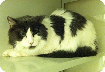 Domestic Longhair Cat for adoption in Arlington/Ft Worth, Texas - Jasper