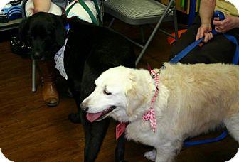 Golden Retriever Dog for adoption in BIRMINGHAM, Alabama - Ms. Flossie