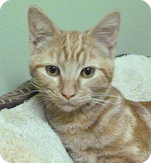 Domestic Shorthair Cat for adoption in Hastings, Nebraska - Zig Zag