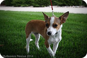 Corgi/Rat Terrier Mix Puppy for adoption in Broomfield, Colorado - SVEN