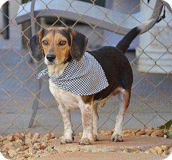Beagle Mix Dog for adoption in Huntsville, Alabama - Finn