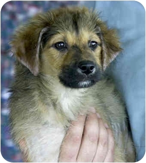 Australian Shepherd Mix Puppy for adoption in Marina del Rey, California - Maddie [PENDING]