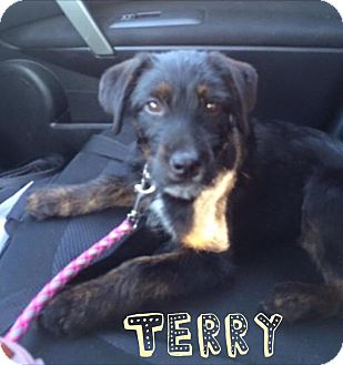 Fox Terrier (Wirehaired)/Labrador Retriever Mix Puppy for adoption in West Milford, New Jersey - Terry