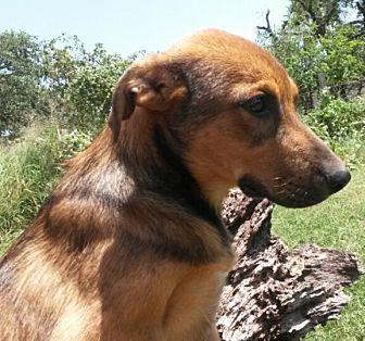 Mountain Cur/Labrador Retriever Mix Dog for adoption in East Hartford, Connecticut - Conner