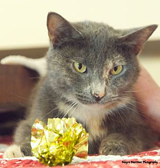 Domestic Shorthair Cat for adoption in Knoxville, Tennessee - Twinkle