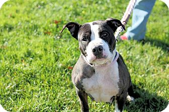 Pit Bull Terrier Mix Dog for adoption in Manahawkin, New Jersey - Panda