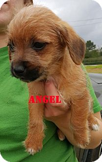 Yorkie, Yorkshire Terrier Mix Puppy for adoption in Spring, Texas - Angel