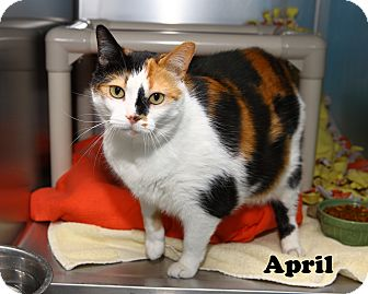 Calico Cat for adoption in Oakland, New Jersey - April