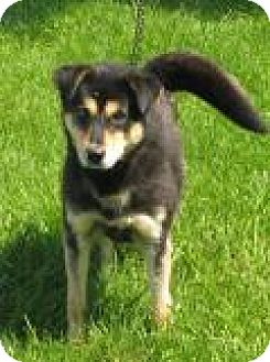 Labrador Retriever/Shepherd (Unknown Type) Mix Dog for adoption in Mineral, Virginia - Bandit D53
