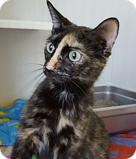 Domestic Shorthair Cat for adoption in Port Hope, Ontario - Triscuit