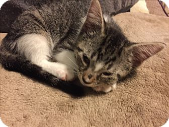 Domestic Shorthair Kitten for adoption in Weatherford, Texas - Sailor