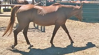 Quarterhorse Mix for adoption in Hitchcock, Texas - Shasha