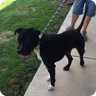 Schnauzer (Standard)/Pit Bull Terrier Mix Dog for adoption in Greensburg, Pennsylvania - Whiskey