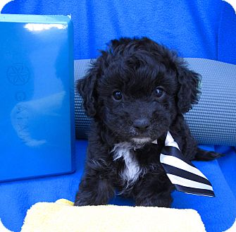 Poodle (Miniature)/Havanese Mix Puppy for adoption in Irvine, California - Bodhi