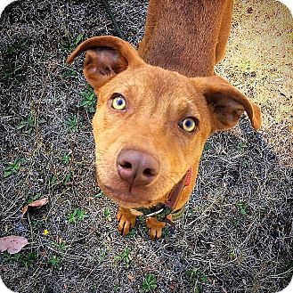 Vizsla Mix Puppy for adoption in Eugene, Oregon - Flower