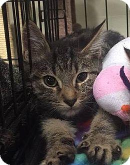 Domestic Shorthair Kitten for adoption in Gainesville, Florida - Hercules