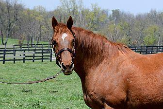 Thoroughbred Mix for adoption in Nicholasville, Kentucky - Spanish Hound