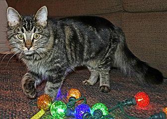 Domestic Mediumhair Kitten for adoption in Rosamond, California - Gracie