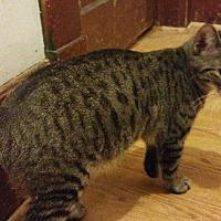 Domestic Shorthair Cat for adoption in Farmington, Arkansas - B. B.