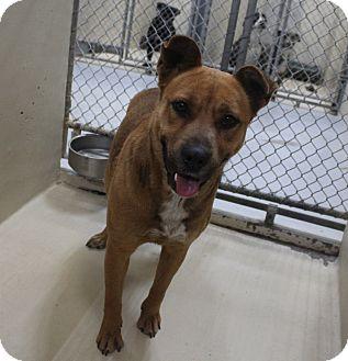 Shepherd (Unknown Type) Mix Dog for adoption in Odessa, Texas - A19 Virginia