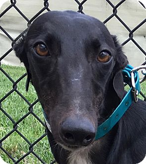 Greyhound Dog for adoption in Longwood, Florida - AMF Courtesan