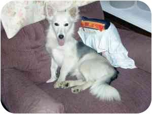 American Eskimo Dog Mix Dog for adoption in Osseo, Minnesota - Foxy