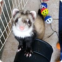 Adopt A Pet :: CORONA & FLYNN & EMORI - Brandy Station, VA