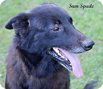 Border Collie/Flat-Coated Retriever Mix Dog for adoption in Southbury, Connecticut - Sam Spade~adopted!