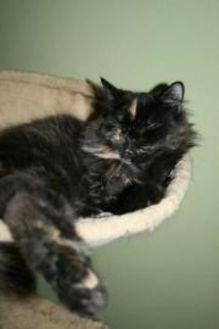 Domestic Longhair/Domestic Shorthair Mix Cat for adoption in Somerville, Massachusetts - Mocha