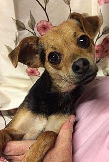 Chihuahua Mix Dog for adoption in Kansas city, Missouri - Bandit