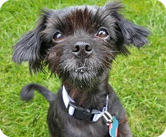 Shih Tzu/Poodle (Miniature) Mix Dog for adoption in Maple Grove, Minnesota - Midnight